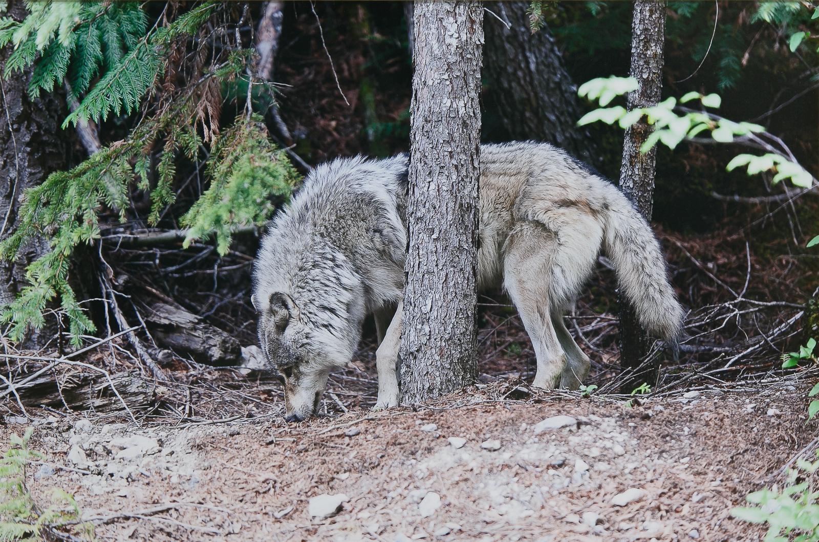 Выставка «Волки. Рожденные свободными» – события на сайте «Московские Сезоны»