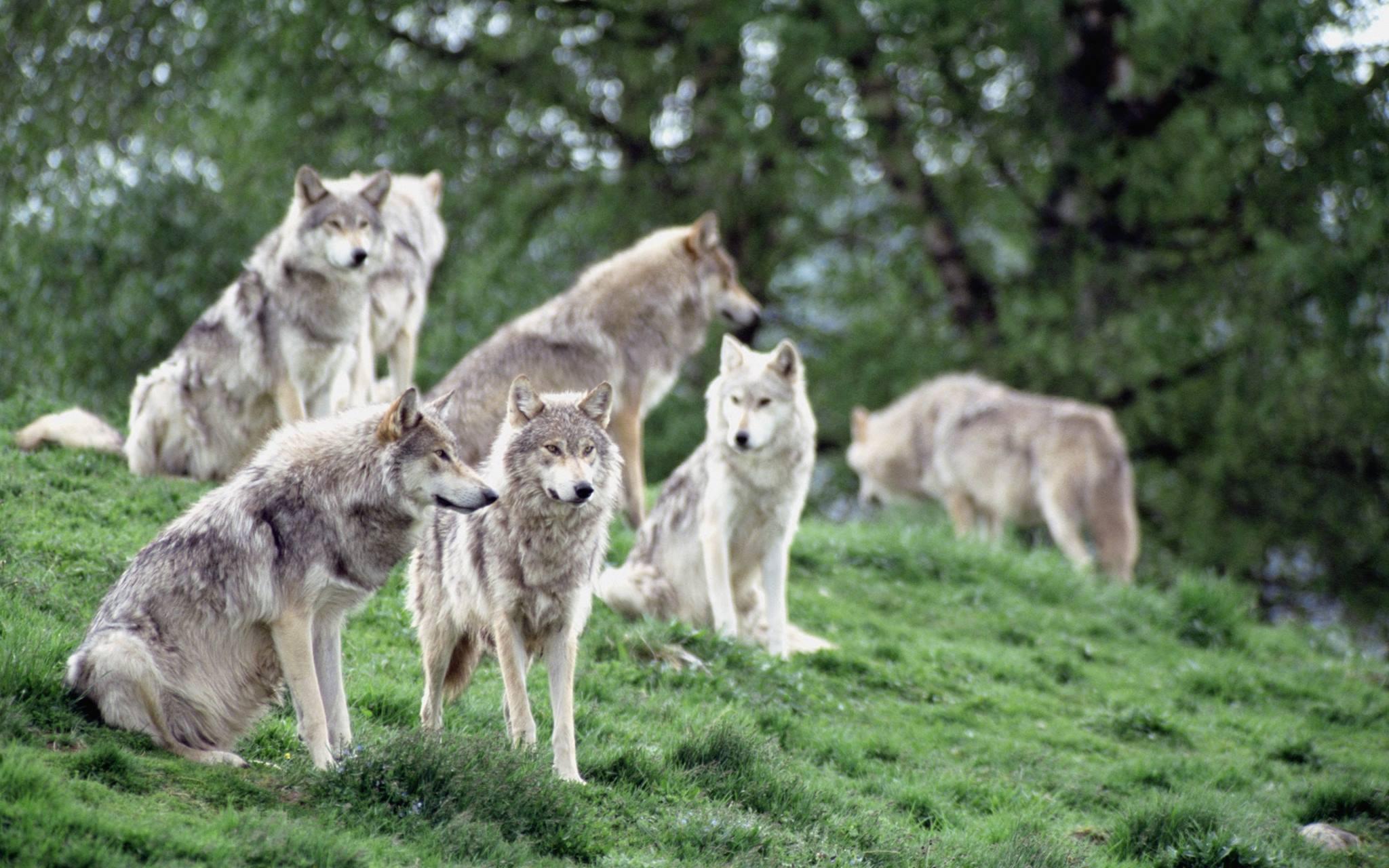 Лекция «Как устроена и живет семья волков» – события на сайте «Московские Сезоны»